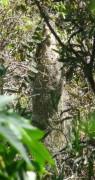 Boyero negro nido/Solitary Black Cacique Nest