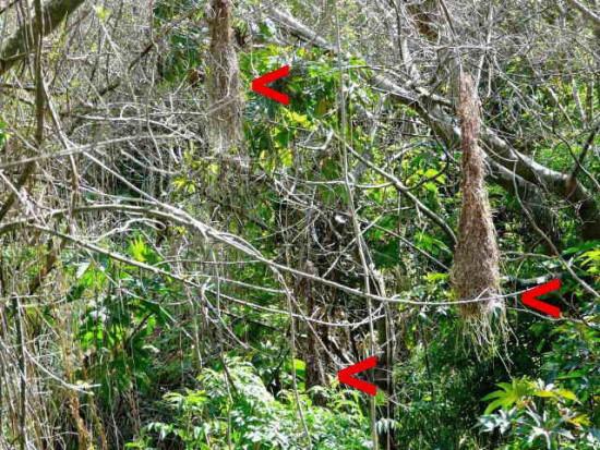Boyero nido/Solitary black cacique's nest