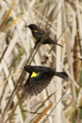Varillero ala amarilla/Yellow-winged Blackbird