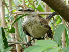 Calandria-grande/Chalk-browed Mockingbird
