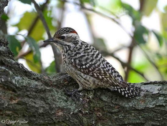 Carpintero bataraz chico/Checkered Woodpecker