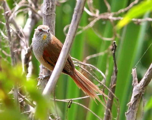 Curutié ocráceo/Sulphur-bearded Spinetail