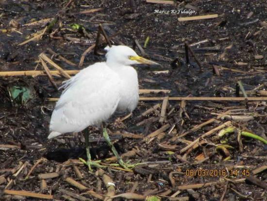 Garcita blanca/Snowy Egret