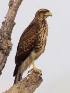 Gavilán mixto/Bay-winged Hawk