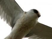 Milano blanco/White-tailed Kite