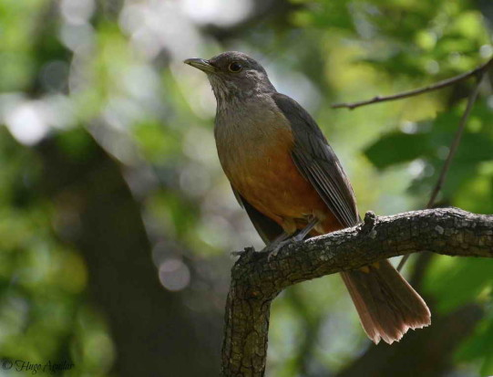 Zorzal colorado/Rufous-bellied Tgrush