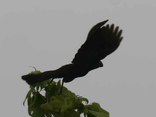 Anó chico/Smoth-billed Ani