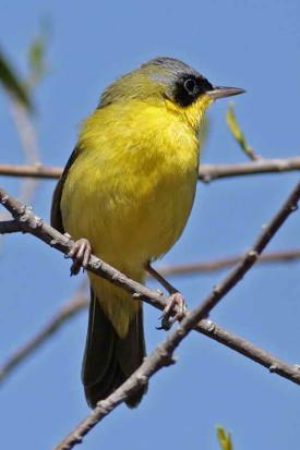 Arañero cara negra/Masked Yellowthroat