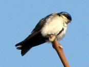 Golondrina arranquera/Blue-and-white Swallow