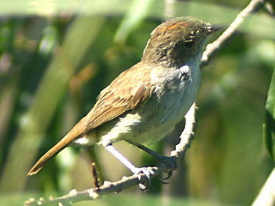 Barullero/Tawnt-crowned Pygmy-Tyrant