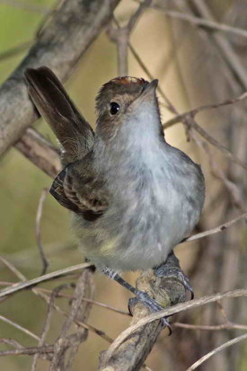 Barullero/Tawny-crowned Pygmy-Tyrant