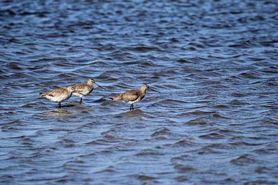 Becasa de mar/Hudsonian Godwit