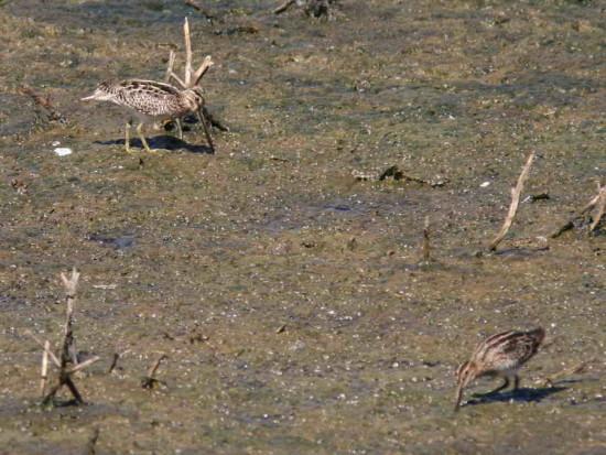 Becasina común/Hudsonian Godwit