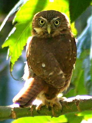 Caburé/Ferruginous Pygmy-Owl
