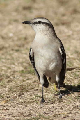 Calandria grande/Chalk-browed Mockingbird