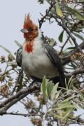 Cardenal común/Red-crested Cardinal
