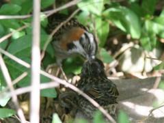 olo/Rufous-collared Sparrow