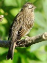 Chingolo/Rufous-collared Sparrow