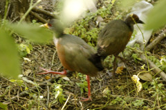 Chiricote/Grey-necked Wood-Rail