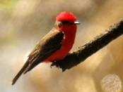 Churrinche/Vermilion Flycatcher