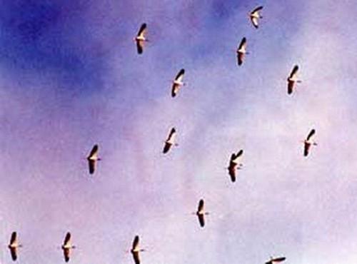 Cigueña americana/Maguari Stork
