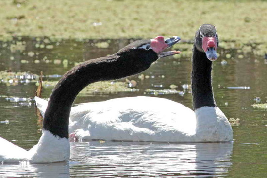 Cisne cuello negro/Black-headed Swan