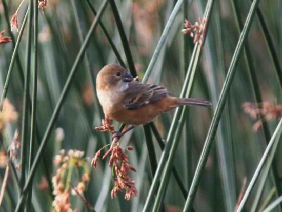 Corbatita dominó/Rusty-collared Seedeater