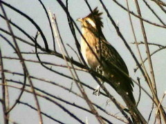 Crespín/Striped Cuckoo