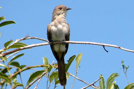 Cuclillo chico/Ash-coloured Cuckoo
