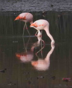 Flamenco austral/Chliean Flamingo