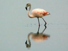 Flamenco austral/Chilean Flamingo