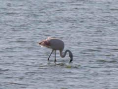 Flamenco austral/Chliean Flamingo