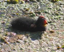 Gallareta escudete rojo/Red-fronted Coot