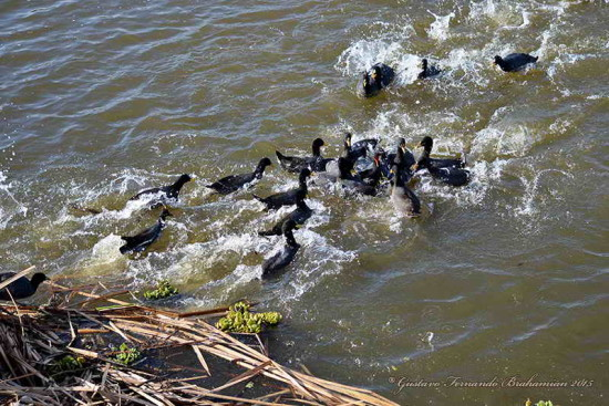 Gallaretas y pollonas/Coots and Gallinules