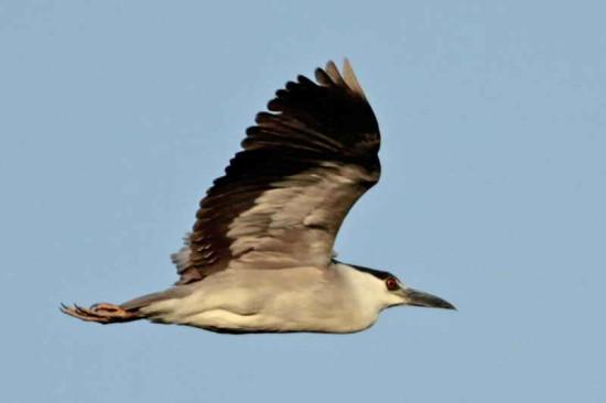 Garza bruja/Black-crowned Night HeronN