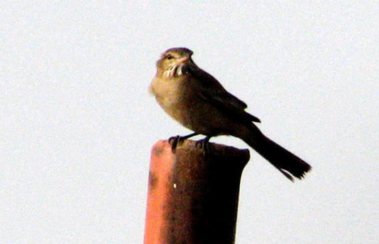 Gaucho común/Grey-bellied Shrike-Tyrant