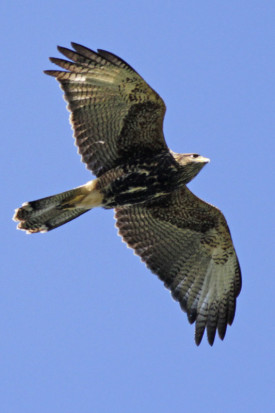Gavilán mixto/Bay-winged Hawk