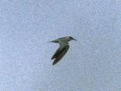 Gaviotín chico común/Yellow-billed Tern