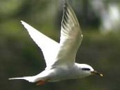 Gaviotín lagunero/Yellow-billed Tern