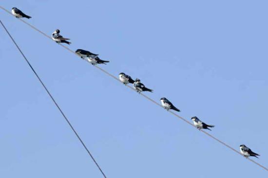 Golondrina barranquera/Blue-and-white Swallow