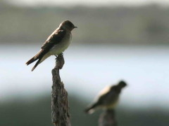Golondrina ribereña/Rough-winged Swallow