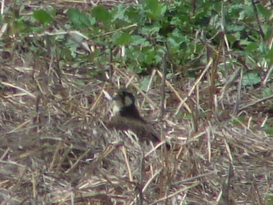 Halcón plomizo/Aplomado Falcon
