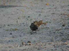 Tordo renegrido-Hornero/Shiny Cowbird-Rufous Hornero