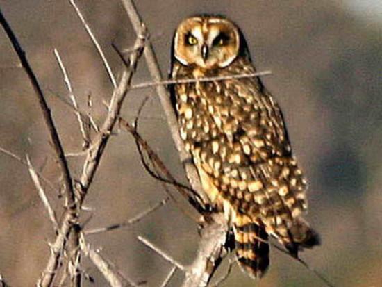 Lechuzón de campo/Short-eared Owl