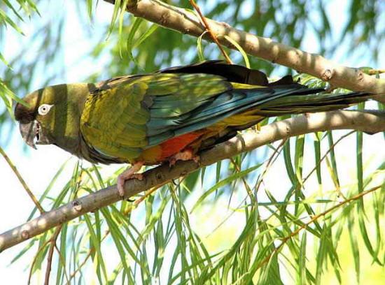 Loro barranquero/Burrowing Parakeet