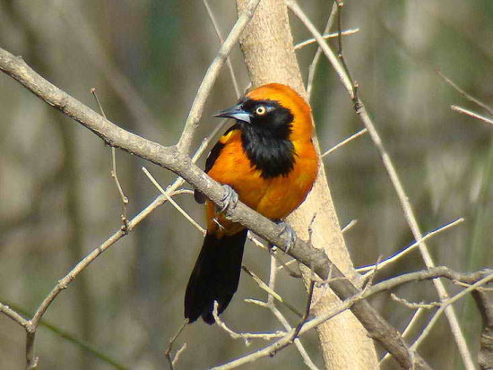 Matico/Orange-backed Troupial
