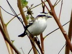 Monjita coronada/Black-crowned Monjita