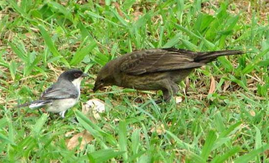 Monterita cabeza negraP/Blac-capped Warbling-FinchP