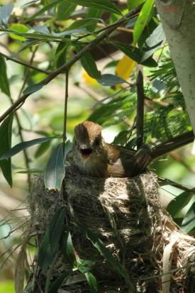 Mosqueta estriada/Bran-coloured Flycatcher