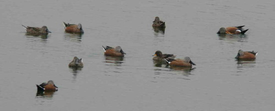 Pato cuchara/Red shoveler